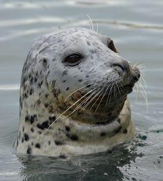Harbour seal at Fishermans Wharf