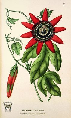 Crimson Passion Flower. Passiflora kermesina [as Passiflora kermesina var. lemichezi] (1817)