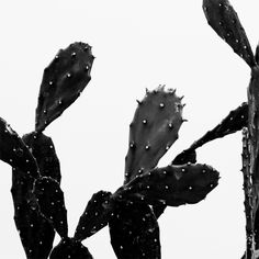 black and white cactus Plants Are Friends, Cactus Art, Cactus Decor, Black Flowers, Cacti And Succulents, Cactus Plants, Black N White, Monochrome, Pastels