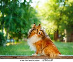 Shetland Sheepdog dog breed for a walk in the park. Cute pet. Sheltie in the street. @shutterstock
