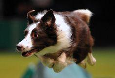 Un chien de berger participe à l'épreuve d'agilité lors du concours canin de Birmingham (Royaume-Uni), le 10 mars 2013. CARL COURT / AFP