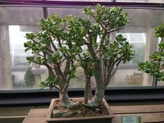 Jade plants (Jade Trees) make an interesting bonsai.