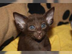 OKH u. Siam Kitten (Stegen) - Orientalische Kurzhaar - Deine-Tierwelt.de
