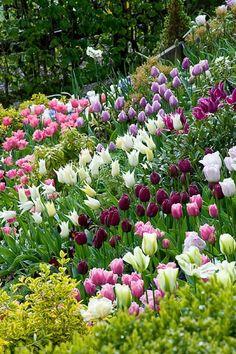 Tulips. Little Larford, Worcestershire