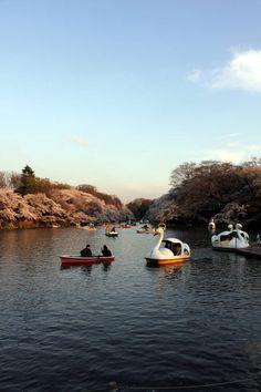 桜がいっぱいの吉祥寺・井之頭公園