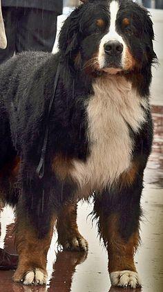 Giant Dogs, Big Dogs, Burmese Mountain Dogs, Entlebucher, Bernese Mountain, Dog Park, Working Dogs, Shepherd Dog, Mans Best Friend
