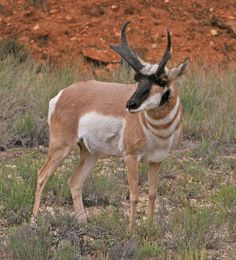 Pronghorn Antelope, Arizona USA
