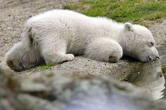 Eisbär Knut schläft schon wieder