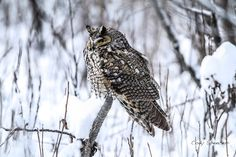 Long-eared Owl (Asio otus). Photo by Cody Spencer.
