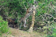 This leopard barely made it to a tree when a wild pig in Sri Lanka's Yala National Park charged at it. Image: Dr. Lalith Ekanayake