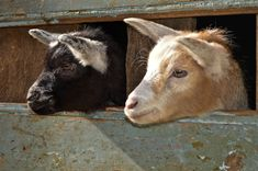 #castrolaboreiro Goats, Cow, Animals, Animales, Animaux, Cattle, Animal, Animais, Goat
