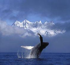Humpback Whale Breaches In Clearing Fog Print by John Hyde