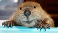 Your pet dog or cat may be cute, but he or she probably isn't as cute as this adopted beaver! Brigette Brouillard, the founder and owner of Second Chances Wildlife Center, often takes in and rehabilitates all kinds of wild animals, from skunks to armadillos. But it's her latest rescue—a beaver named Justin Beaver—that
