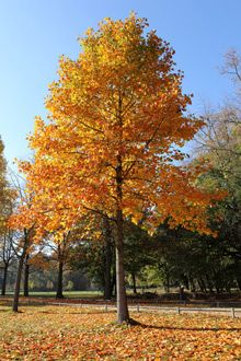 Tulip Poplar   During the summer you get a fast growing, well formed green shade tree.  Yellow flowers in the spring & yellow leaves in the fall. Very easy to grow... thrives in almost all areas! Highly adaptable to a variety of soils