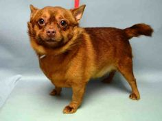 Brooklyn Center CHIMMY – A1057666 MALE, BROWN, CHIHUAHUA SH MIX, 3 yrs OWNER SUR – EVALUATE, NO HOLD Reason MOVE2PRIVA Intake condition UNSPECIFIE Intake Date 11/12/2015