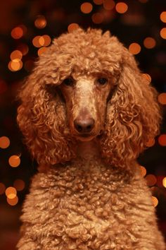My Standard Poodle, Scout, posing in front of our Christmas tree. Red standard poodle