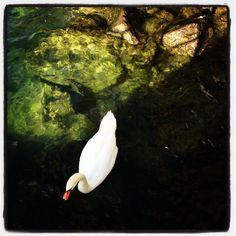 A swan in Montreux Riviera Swan, Flora, Creatures, Bird, Animals, Swans, Animales, Animaux, Birds