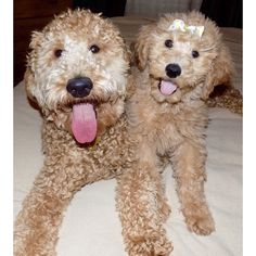 Doodle siblings and best friends! | Goldendoodle - golden retriever and poodle cross; F1B breed; hypoallergenic dog
