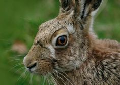 Find out more about the UK's wildlife - sections on mammals, birds, reptiles, invertebrates, freshwater fish and amphibians. Pages can be converted to PDF or printable pages with ease. Rabbit Life, Wild Rabbit, Jack Rabbit, Face Images, White Rabbits, Wildlife Conservation, Pet Portraits, Animal Kingdom, Habitats