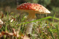 https://flic.kr/p/5MyUfd | mushroom | mushroom at Leersumse Veld