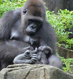 animals, primates, gorillas - Entspannende Videos und Bilder - Animal world Nature Animals, Animals And Pets, Baby Animals, Funny Animals, Cute Animals, Strange Animals, Primates, Mammals, Beautiful Creatures