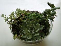 janaford: succulent terrarium.