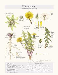 dandelionprint.jpg by Wendy Hollender (colored pencil)