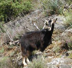 Corsican goat