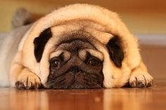 Creswell Creswell Pingel- Our Brutus was a cute, fat pug! Fat Pug, Fat Cats, Fat Animals, Funny Animals, Amor Pug, Pug Gifs, Pug Love, My Animal, Pugs