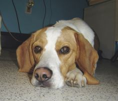 Natural Dog Success Story: A test designed for humans helps get a Beagle past intestinal distress.
