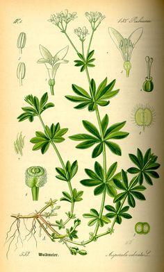 Asperula odorata 'Sweet Woodruff, 1885, Flora von Deutschland Österreich und der Schweiz