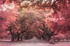 "Nature Photography - Trees Autumn - Surreal Trees - Pink Plum Trees of South Carolina Fine Art Photography 8"" x 12"""