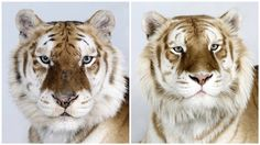 Close-Up Portraits of Rare Bengal Tigers. After pet, farm animals, now finally comes close-up portrait series of tigers.