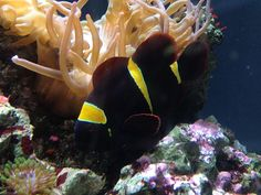 Clown fish Long Beach Aquarium, Fish, Pets, Animals, Animales, Animaux, Animal, Animais, Dieren