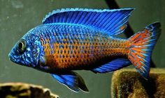 MALE Ngara Flametail Peacock 1.25 inch Aulonocara  African Cichlid GUARANTEED
