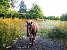 Horses at Barton Hills, Bedfordshire. A Traveller's Treasurebox: Localtrotting #hills #england #bedfordshire #horses