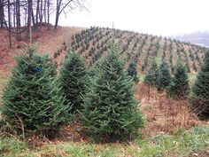 If you've always wanted to become a Christmas tree farmer, your farm dream isn't too far out of reach.