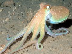 An octopus found in the Gulf of Mexico, West Bank of the Flower Garden Banks National Marine Sanctuary.  Photo: NURC/UNCW and NOAA/FGBNMS  #Nature #Wild... - The TerraMar Project - Google+