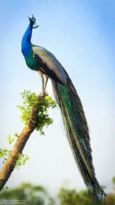16 Best Mayur Images Peacock Peacock Feathers Abstract Art