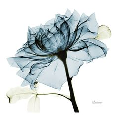 Mounted Print: Blue Rose 2 by Albert Koetsier : A-level Kunst, Framed Artwork, Wall Art Prints, Canvas Prints, Watercolor Flower, Deco Nature, Plant Drawing, Wall Canvas, Diy Canvas