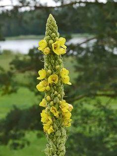 Ukontulikukka, Verbascum thapsus - Kukkakasvit - LuontoPortti