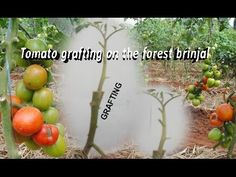 How to graft tomato and eggplant: tube splice method Pepper Plants, Outdoor Stuff, Garden Tips, Repurpose, Agriculture, Eggplant, Stuffed Peppers, Vegetables, Youtube