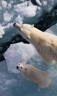 Polar bear mother on the sea ice with her COY (cub of the year) likely born in November-January of the previous year.