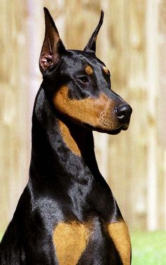 The Doberman Pinscher is among the most popular breed of dogs in the world. Known for its intelligence and loyalty, the Pinscher is both a police- favorite Doberman Pinscher Puppy, Doberman Dogs, Dobermans, Beautiful Dogs, Animals Beautiful, Hello Beautiful, Dobermann Tattoo, I Love Dogs, Cute Dogs