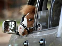 I don't know why I found this so funny! Something about miniature ponies just makes me giddy! Tiny Horses, Cute Horses, Horse Love, All The Pretty Horses, Beautiful Horses, Animals Beautiful, Farm Animals, Funny Animals, Cute Animals
