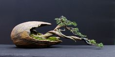 Juniper bonsai - This has got to be the coolest bonsai presentation ever. Look at the jin (dead wood) that's intertwined with the living wood... it looks like a dragon.