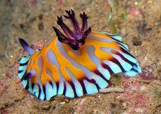 Chromodoris roboi, species of sea slug