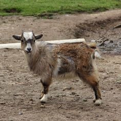 Cutest goat ever... I kid you not!