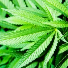 Cannabis derivative hemp is a crop full of oils with potential health benefits, finds a new study in the Journal of Agricultural and Food Chemistry. Medical News, Medical Science, News Health, Hemp Seeds, Multiple Sclerosis, Health Benefits, Federal, Fibromyalgia, Ganja