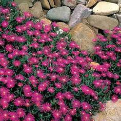 purple ice plant is also a good ground cover but I think the juniper ground cover would last the winter better. Although the ice plant is pretty. Arizona Flower, Rock Wall Gardens, Drought Resistant Plants, Drought Tolerant, Front Flower Beds, Pocket Garden, Colorado, Ice Plant, Ground Cover Plants